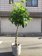 カゴ入り10号パキラ★170~190cm